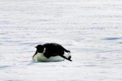 Eventos climáticos extremos hacen impredecible el futuro del pingüino