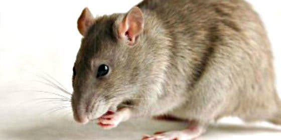 Aparece en España una rata gigante, bien alimentada y de más de medio metro de largo