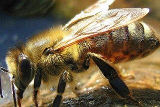 Si les 'sale de las alas' las abejas pueden volar más alto que el monte Everest