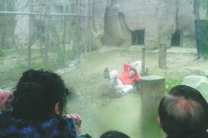 """[Vídeo] Se deja mutilar por unos tigres de Bengala saltando a su jaula porque quería """"darles de comer"""""""