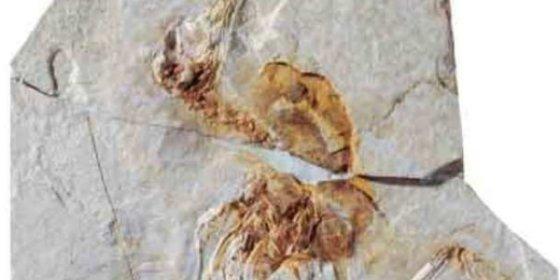 Un equipo de la UAM explica cómo volaron las primeras aves gracias a un fósil