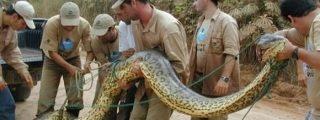 [Vídeo] Una serpiente anaconda se traga vivo a un político que estaba borracho
