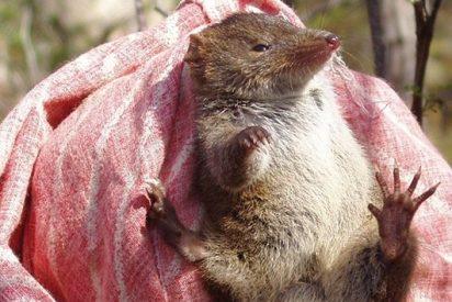 Descubren una nueva raza de ratones que muere en masa...¡por agotamiento sexual!