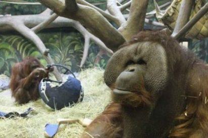 Un orangután ha adivinado los últimos 6 ganadores de la Super Bowl