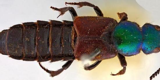 Encuentran al famoso escarabajo que le perdieron a Darwin, y que tiene ya 180 años