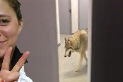 ¡Se topa con un lobo en el pasillo de su hotel en Sochi!