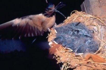 Investigadores de la Universidad de Sevilla advierten del riesgo de malaria aviar por cambio climático