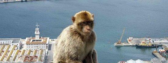 Gibraltar va a deportar a sus descontrolados monos por 'mordiscones' y sinvergüenzas