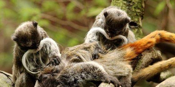 Aconsejan a los bancos que aprendan de los monos para evitar colapsos
