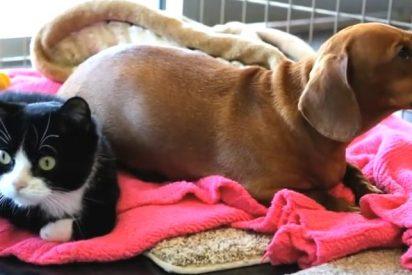 [Vídeo] La tierna historia del perro salchicha que cuida con todo su amor a una gata parapléjica