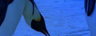 Dramático vídeo de una mamá pingüino 'llorando' a la cría que se le ha congelado