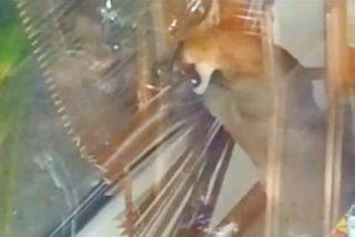 [Vídeo] La familia baja a hacerse el desayuno a la cocina y se encuentra...¡con un puma hecho una fiera!