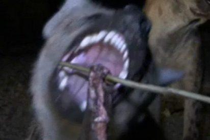 Conoce la ciudad que vive aterrada por el constante asedio de las hienas