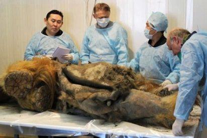 Todo a punto para la insólita hazaña de...¡clonar al primer mamut de la historia!