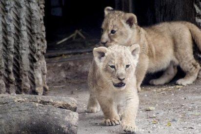 El zoo que le retorció el cuello a la jirafa Marius se carga ahora a cuatro leones, dos de ellos cachorros