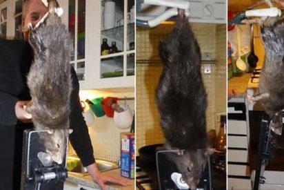 Una familia se encuentra en la cocina una 'rata monstruo' de casi medio metro