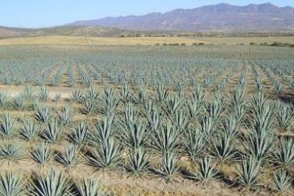 Estudian un edulcorante a partir del tequila que disminuye los niveles de glucosa para diabéticos
