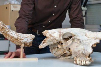 Investigadores de la Universidad de Oviedo recuperan el cráneo de un bisonte de la Edad del Hielo en Ribadesella