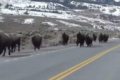 Este video viral de bisontes a la fuga desata el temor de erupción en Yellowstone, el mayor volcán del mundo