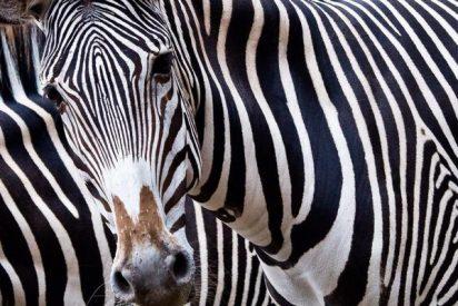 Descubren por fin el misterio de por qué las cebras siempre 'visten' a rayas