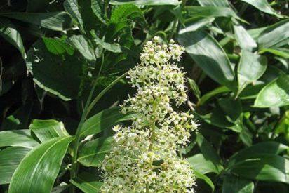 Una hierba china, tan buena para la artritis como el fármaco tradicional