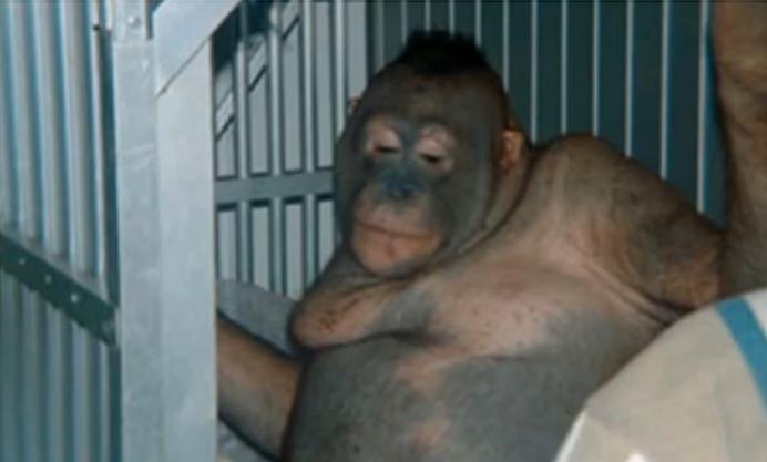 Prostituyen a hembras de orangután: las depilan y pintan los labios