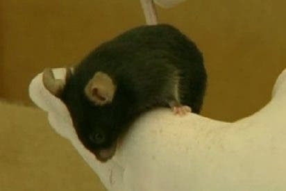 Científicos españoles eliminan los primeros síntomas del Alzheimer en un grupo de ratones
