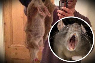 ¡Ya están aquí! Ratas mutantes gigantes invaden las casas en Gran Bretaña...y entran hasta por el váter