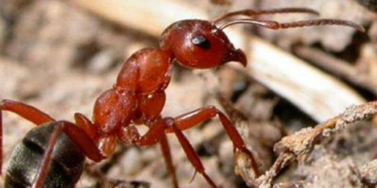 Torturan a dos ladrones con hormigas venenosas entre las carcajadas de los vecinos