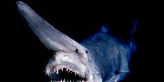 Un pescador captura al extraño y terrorífico 'tiburón duende' y lo devuelve al mar