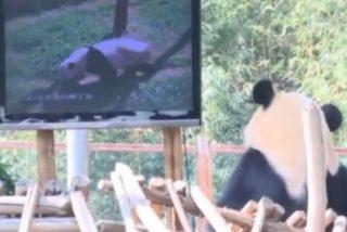 Una televisión con programas de osos cura a una panda de su grave depresión