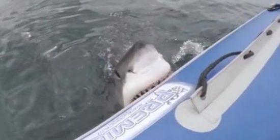 El vídeo de las dentelladas del tiburón blanco que quería comerse a unos ecologistas