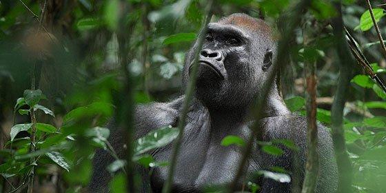 Confunden a un trabajador de Loro Parque con un gorila y casi le dejan seco de un disparo