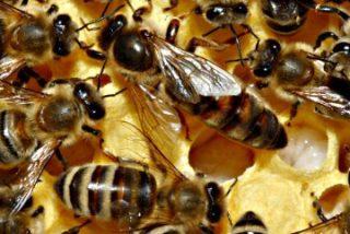 Alerta mundial por la misteriosa y creciente desaparición de las abejas en todo el Planeta Tierra