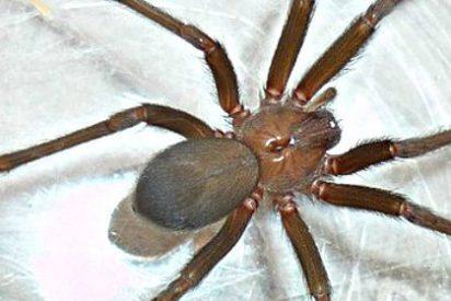 Ingresan de urgencia a otra mujer en el Virgen del Rocío por picadura de araña parda