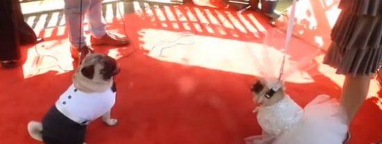 El vídeo de la costosa boda de dos perros carlinos algo repelentes