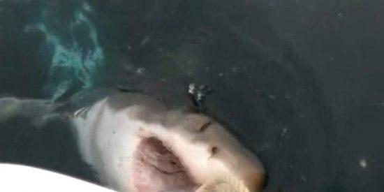 El vídeo del voraz tiburón blanco que 'asalta' un barco hecho todo un ladrón