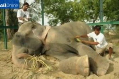 El vídeo del elefante que llora al quitarle las cadenas con púas tras 50 años de esclavitud