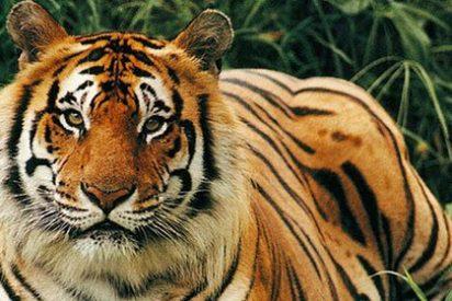 Un tigre sufre un ataque de pánico al recibir en su jaula el abrazo de un borracho