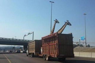 Muere una jirafa al golpearse la cabeza contra un puente por culpa de un patoso