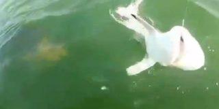 [Vídeo] Un mero gigante se zampa de un bocado a un pobre tiburón