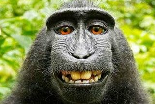 Un avispado mono se hace un 'selfie' y deja al dueño de la cámara sin derechos de autor