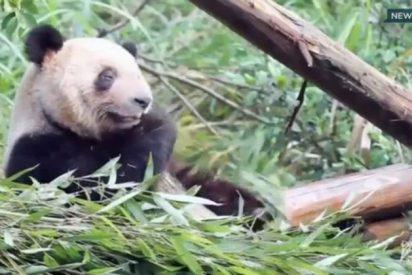 Una osa panda finge estar embarazada para conseguir aire acondicionado