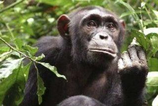 Los chimpancés van a la guerra para conseguir más hembras y alimentos