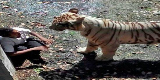 [Vídeo] Un tigre blanco devora a un estudiante que se cayó al foso del parque zoológico