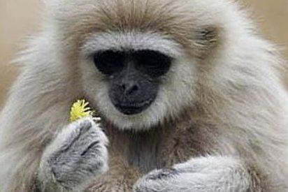 Encuentran el eslabón perdido en el registro fósil de los simios