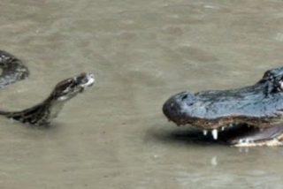 La escalofriante y brutal pelea a muerte entre la enorme serpiente pitón y el cocodrilo