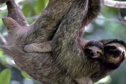 Los perezosos, entre los mamíferos más rápidos... en crecer