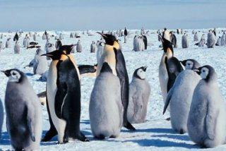 La enfermedad de la pérdida de plumaje ha llegado a las colonias de pingüinos de Adelia