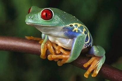 Las ranas adelantan su reproducción por el cambio climático